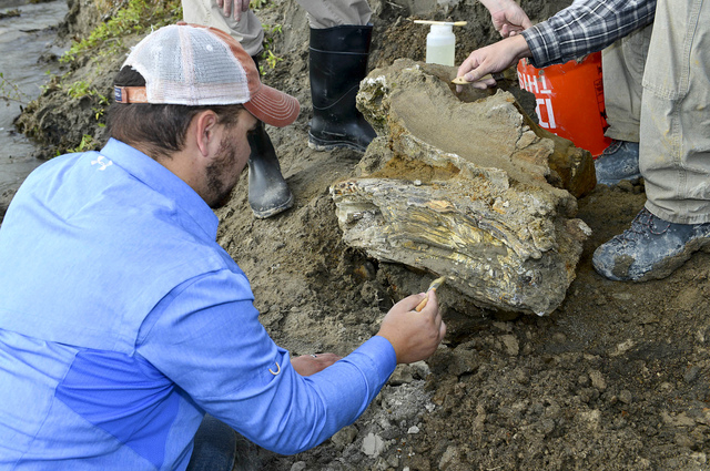 In this Oct. 16, 2014 photo provided by the Bureau of Reclamation, Idaho State University geology student Travis Helm brushes and cleans a mammoth skull discovered near American Falls Reservoir ne ...