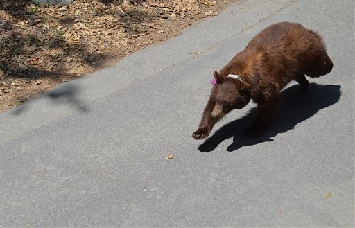 In this April 2014 photo provided by the Yosemite Conservancy is a bear with a GPS tracking collar in Yosemite National Park, Calif. Keeping wild black bears in Yosemite National Park away from hu ...