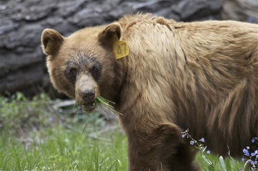 In this June 2009 photo provided by the Yosemite Conservancy is a black bear in Yosemite National Park, Calif. Keeping wild black bears in Yosemite National Park away from humans is a constant bat ...