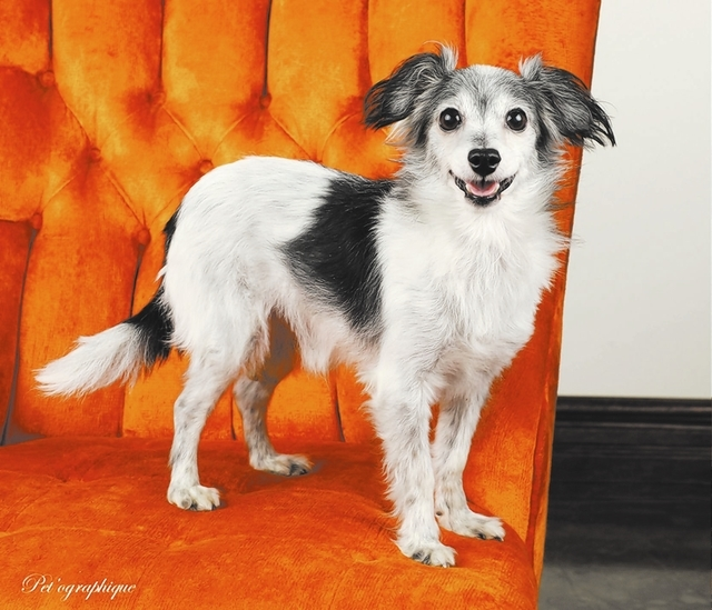 Dragon, Nevada SPCA My body has aged, but my spirit remains youthful. My name is Dragon, and I am a papillon mix. I am 10 years of age, a neutered boy who is great with other dogs. I eagerly await ...