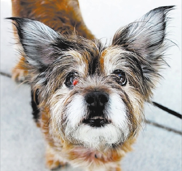 Dakota, The Animal Foundation Dakota (I.D. No. A802781) here, and I'm a 7-year-old female Shih Tzu waiting to meet you! I like treats and going for brisk walks. People say my sweet eyes are hard ...