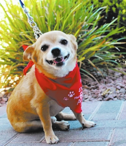 Frank Zappa, Animal Network This little applehead Chihuahua is Frank Zappa. He loves other dogs, kids and ignores cats. He wants to snuggle up with anyone. Frank is house-trained and crate-trained ...