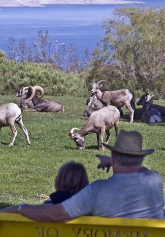 William Tye points out a large ram desert bighorn sheep to his great-grand daughter Tiffany Turner, 10, as the sheep munch on the grass at Henenway Park in Boulder City, Monday, Oct. 5, 2009. The  ...