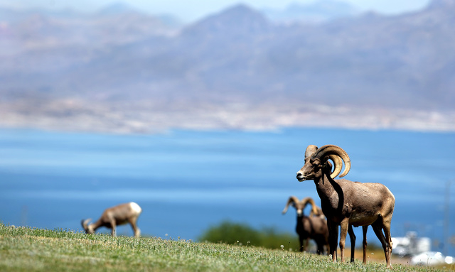 Desert bighorn sheep graze atop a grassy knoll overlooking Lake Mead at Henenway Park in Boulder City, Thursday Aug. 19, 2010. (John Gurzinski/Las Vegas Review-Journal)