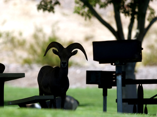 A desert bighorn sheep stands in the shade of an awning in the picnic area at Henenway Park in Boulder City, Thursday Aug. 19, 2010. (John Gurzinski/Las Vegas Review-Journal)