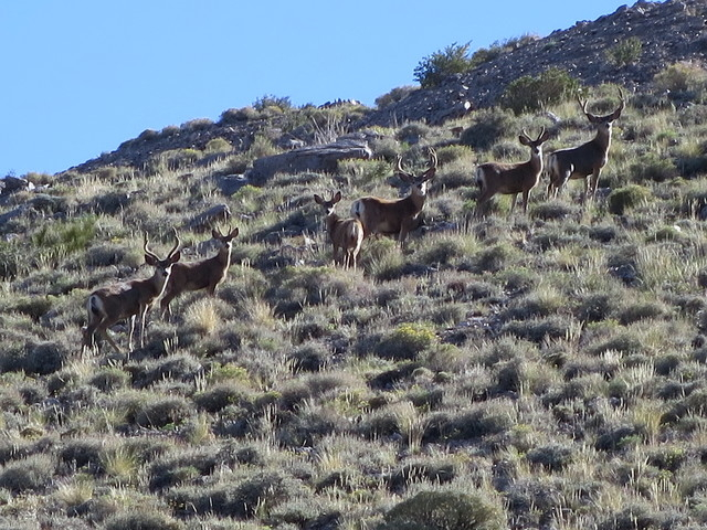 Deer are seen along the trail to Boundary Peak. (Deb Schweizer/US Forest Service)