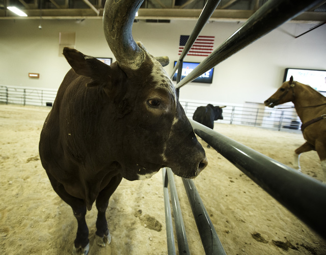 Bushwacker is seen  Monday, Oct. 20, 2014 at South Point Arena and Equestrian Center, 9777 S. Las Vegas Boulevard.The eight-year-old 1,750 pounds bull  is retiring after this weekճ 2014 Worl ...