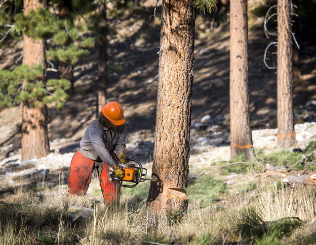 A Forest Service employee cuts down a Ponderosa pine at the Rainbow Subdivision in Mount Charleston on Friday, Oct. 10, 2014. The U.S. Forest Service is building a 2200-2400-foot channel to divert ...