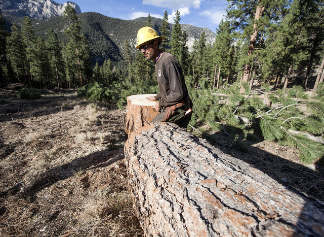 A Forest Service employee walks by a freshly cut Ponderosa pine at the Rainbow Subdivision in Mount Charleston on Friday, Oct. 10, 2014. The U.S. Forest Service is building a 2200-2400-foot channe ...