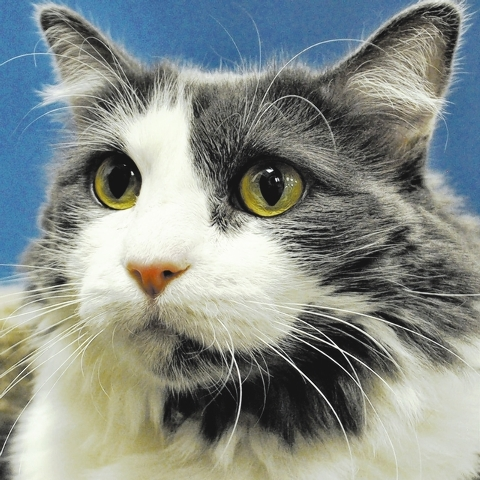 Patches, Happy Home Patches is a super friendly 5-year-old medium haired gray and white beauty. She was given up when her heartbroken elderly owner had to move in with a relative who was allergic  ...