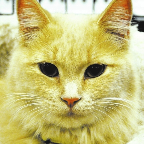 Trudy, Happy Home Trudy is a beautiful, medium hair blonde female. She is 2 years old, spayed and current on her shots. She has a mellow personality and would love a quiet home of her own.   For m ...