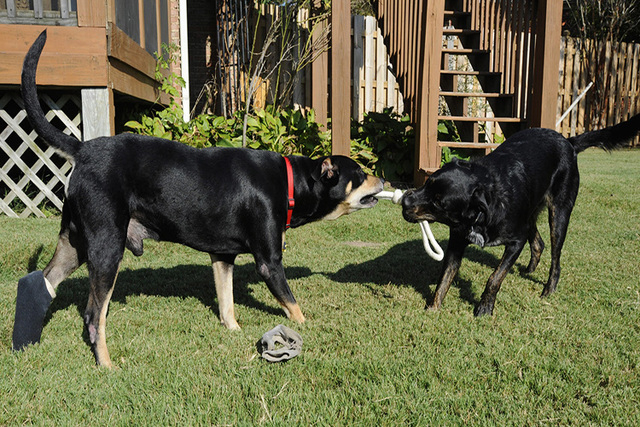 Lazarus, left, plays with a housemate in Helena, Ala., on Wednesday, Oct. 1, 2014. The mixed-breed dog survived two euthanasia attempts and a car accident before being found by a volunteer and giv ...