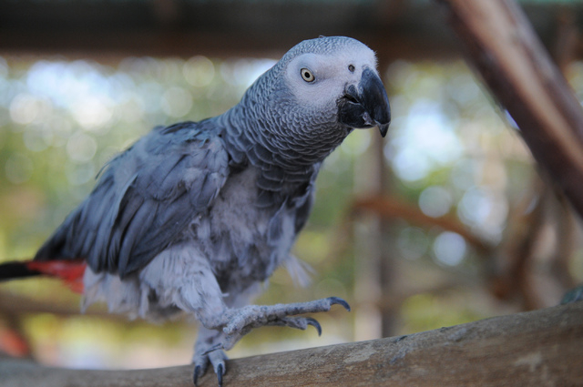 An African grey parrot walks on a branch inside an aviary at Gilcrease Nature Sanctuary. (Erik Verduzco/Las Vegas Review-Journal)