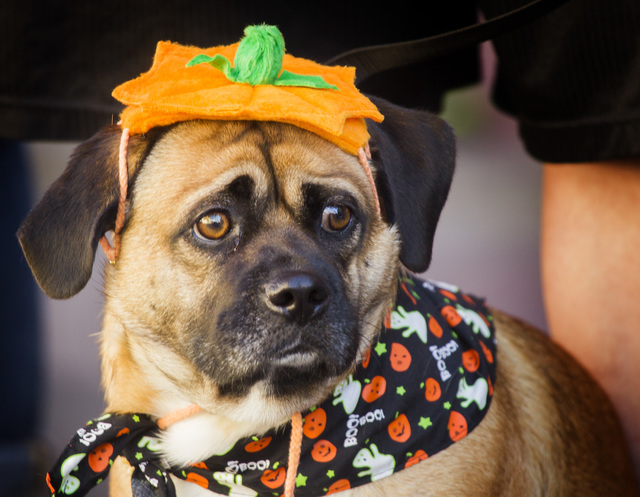 Jax, a rescue dog during the  Nevada Day Parade on Fourth Street in downtown Las Vegas on Friday, Oct. 31. Thousands lined the street to celebrate Nevada's  Sesquicentennial. (Jeff Scheid/Las Vega ...
