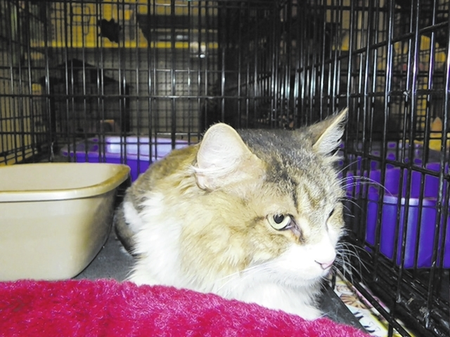 Michael, Paws 4 love Michael is 4-year-old Maine coon mix found wandering the streets. He does well in a multiple-pet household, gets along with cats and will walk around dogs. He tested negative  ...