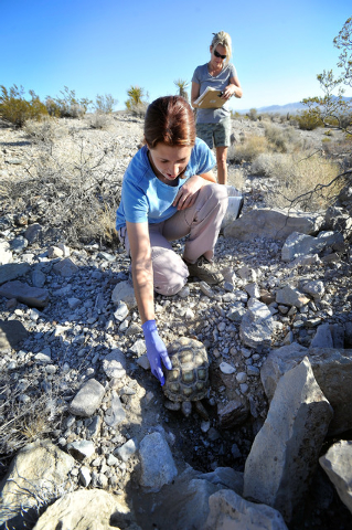 Desert Tortoise Conservation Center worker Nicole Smith  releases a desert tortoise into the desert near Primm as Angie Covert takes notes on Friday, Oct. 10, 2014. The Conservation Center which w ...