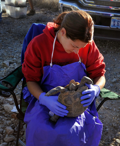 Desert Tortoise Conservation Center worker Nicole Smith  looks over a desert tortoise before it is released into the desert near Primm on Friday, Oct. 10, 2014. The Conservation Center which was e ...