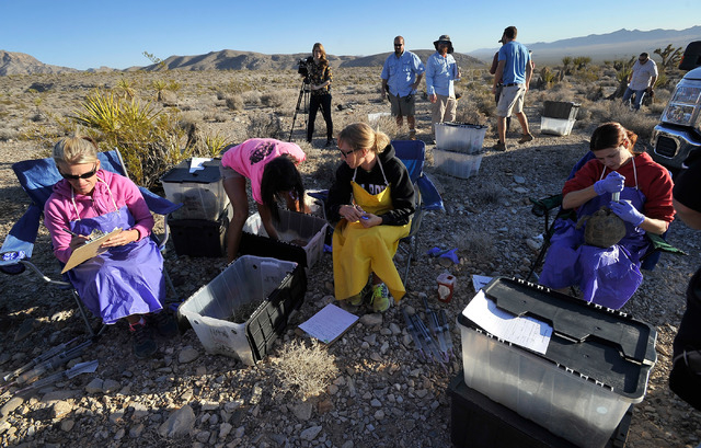 Desert Tortoise Conservation Center workers prepare desert tortoises for the translocation into the desert near Primm on Friday, Oct. 10, 2014. The Conservation Center which was established in 199 ...