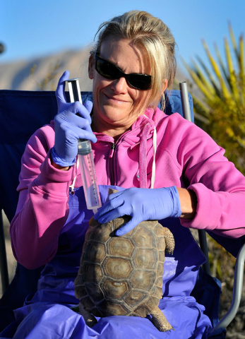 Desert Tortoise Conservation Center worker Angie Covert hydrates a desert tortoise with a syringe of saline solution before it is released into the desert near Primm on Friday, Oct. 10, 2014. The  ...