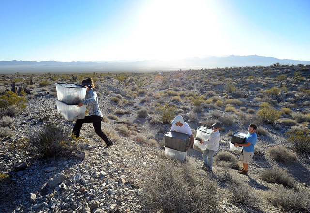 Desert Tortoise Conservation Center workers and volunteers carry containers of desert tortoises as they are released into the desert near Primm on Friday, Oct. 10, 2014. The Conservation Center wh ...