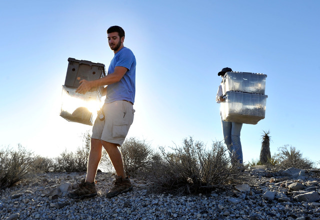 Desert Tortoise Conservation Center worker Troy Hughes leads volunteers as they carry containers of desert tortoises into the desert near Primm to be released on Friday, Oct. 10, 2014. The Conserv ...