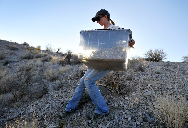 Desert Tortoise Conservation Center volunteer Natalie Wolff carries a container holding a desert tortoise into the desert near Primm to be released on Friday, Oct. 10, 2014. The Conservation Cente ...