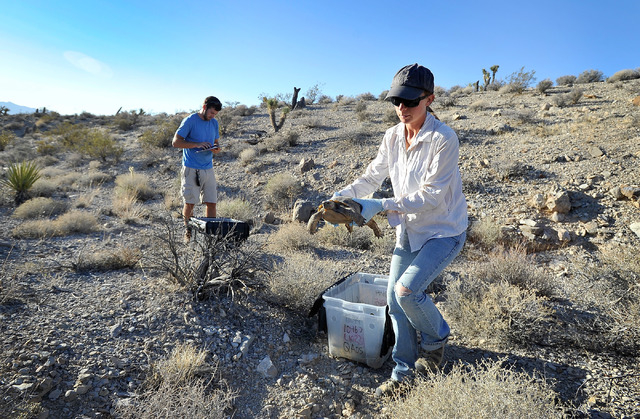 Desert Tortoise Conservation Center volunteer Natalie Wolff releases a desert tortoise into the desert near Primm on Friday, Oct. 10, 2014. The Conservation Center which was established in 1990, c ...