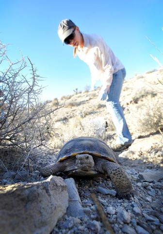 Desert Tortoise Conservation Center volunteer Natalie Wolff watches a desert tortoise after it was released into the desert near Primm on Friday, Oct. 10, 2014. The Conservation Center which was e ...
