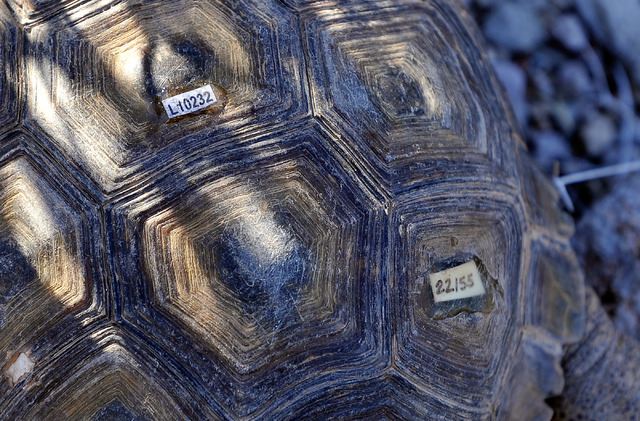 Identifying numbers are seen attached to a desert tortoise as it is released into the desert near Primm on Friday, Oct. 10, 2014. The Desert Tortoises Conservation Center which housed the tortoise ...