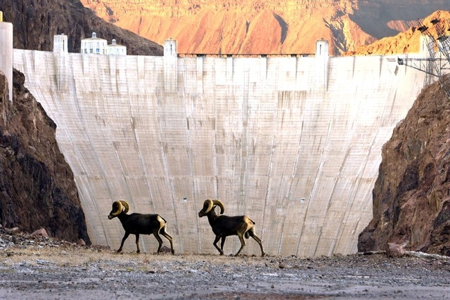 The face of the Hoover Dam silhouettes a pair of desert bighorn sheep on Thursday, Aug. 5, 2010. President Franklin D. Roosevelt dedicated the dam 75 years ago in September 1935. (John Gurzinski/L ...