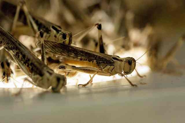 Locusts used for human consumption are seen at the Kreca breeding facility in Ermelo, in this file photo taken April 4, 2014. An international research team on November 6, 2014, unveiled what it c ...