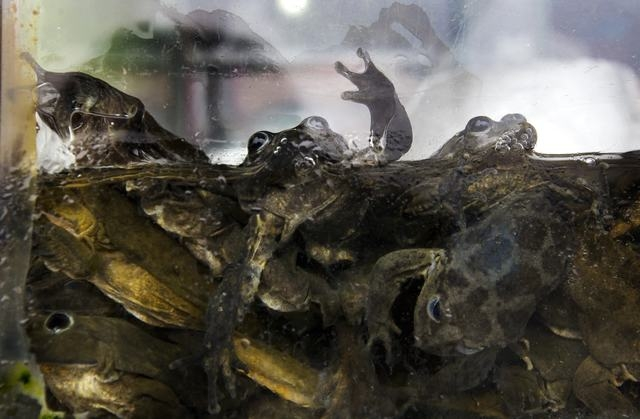 Frogs are crowded into a fishbowl at a juice stand in Lima, Peru, Monday, Nov. 17, 2014. Frogs from Peru's Lake Titicaca are the main ingredient in a juice blend that is revered by some Andean cul ...