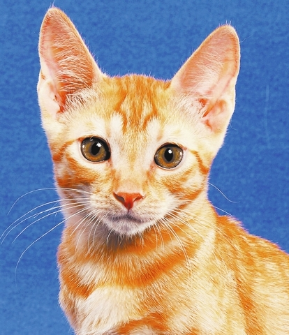 SALMON My name is Salmon and I am a love-bug of a boy, who loves toys and getting a lot of attention from you.  I enjoy being around other cats and even nice dogs.  I do hope you get to know me an ...