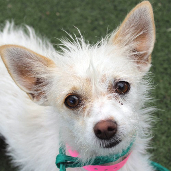 My name is Luna (A810939), and I'm a 2-year-old spayed female Terrier hoping to find my new forever home! I'm a bit timid, but will shower you with kisses if you take your time with me. Loud noise ...