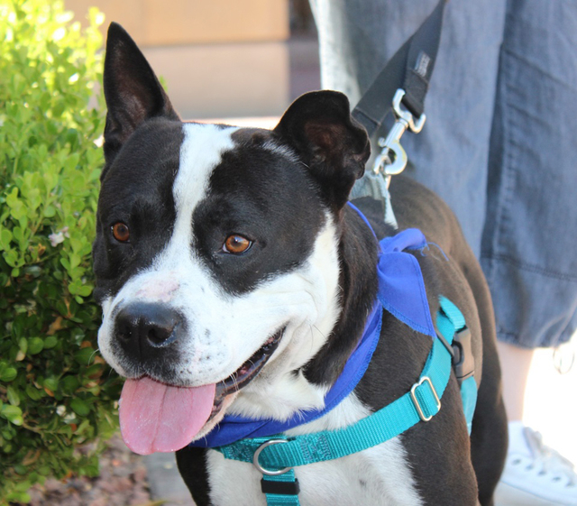 Shrek was seen roaming at Spring Mountain Ranch State Park near Red Rock for 2+ weeks. He was out there roaming but was so friendly everyone thought he belonged to someone.   Shrek is a very frien ...