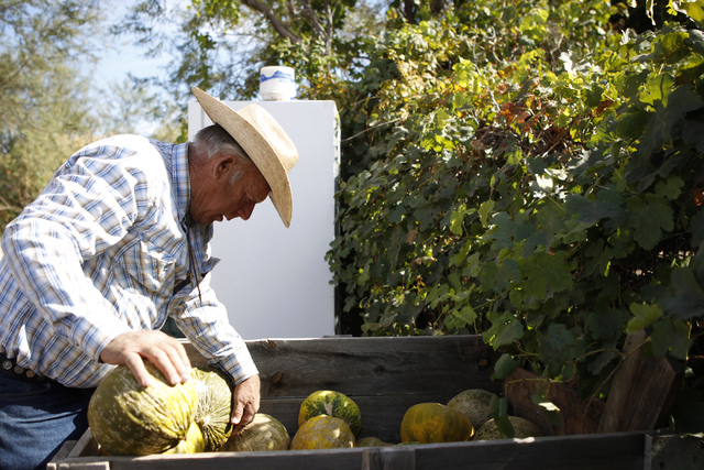 Cliven Bundy looks through a case of melons at his ranch in Bunkerville, Nev., Wednesday, Oct. 29, 2014. (Erik Verduzco/Las Vegas Review-Journal)