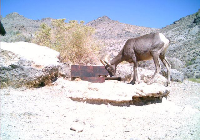 Bighorn sheet are seen at the Desert National Wildlife Refuge. (Courtesy/U.S. Fish & Wildlife Service)