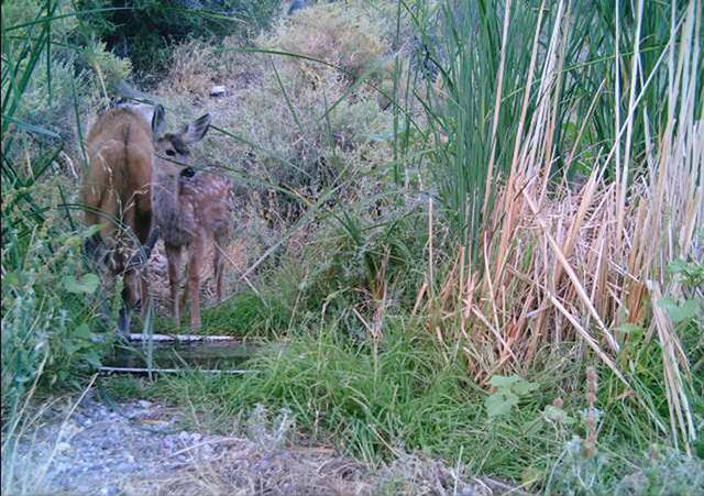 Muler deer are seen at the Desert National Wildlife Refuge. (Courtesy/U.S. Fish & Wildlife Service)