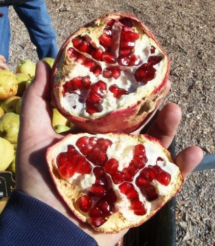 Courtesy Photo Some varieties of pomegranates ripen in September, others in October.