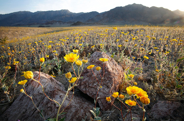 Desert Gold, or Geraea Canescens, covers the desert floor in Death Valley. (Jason Bean/Las Vegas Review-Journal)