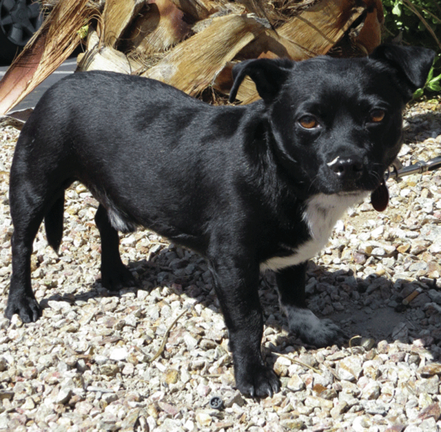 Monty is a male, Boston Terrier mix, 2 years old, and 13 lbs. He's good with other small dogs and cats. He loves the dog park. He is house trained, and is very good with people.  He loves to sit ...