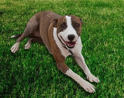 """Dixie, a 2 1/2-year-old rescued pharaoh hound and German shepherd mix from Las Vegas, will be looking for a home during Fox's """"Cause for Paws: An All-Star Dog Spectacular"""" (8 p.m. Thursday,  ..."""