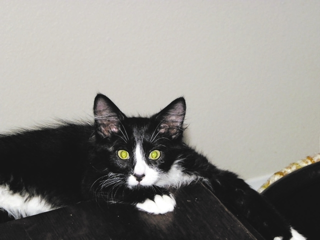 Bucky, Paws 4 Love Bucky is a 5-month-old male tuxedo. This boy was found in a garbage dump looking for food with three other kittens. He is a busy little guy and likes to play with his foster sib ...