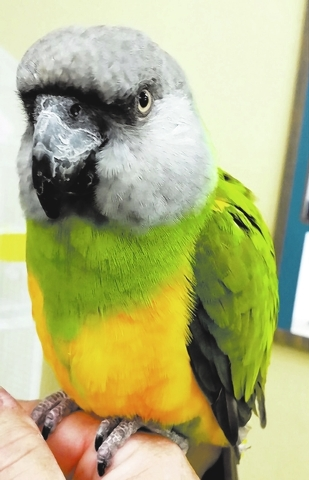 Rico, Southern NV Parrot Rescue Rico is a Senegal parrot who proves that good things really do come in small packages. Give Rico a toy with a bell, and watch the fun begin! He always enjoys toys.  ...