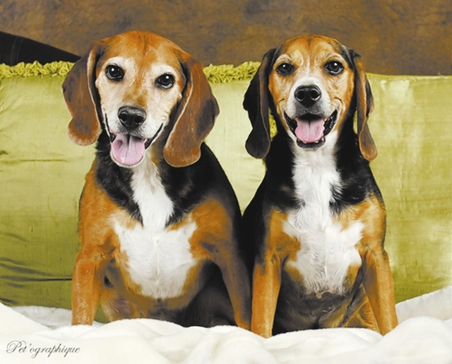 Captain Jack & Nigel, Southern NV Beagle Rescue Captain Jack and Nigel are 8-year-old male tricolor beagle brothers. They must be adopted together. They are neutered, microchipped and up to date o ...