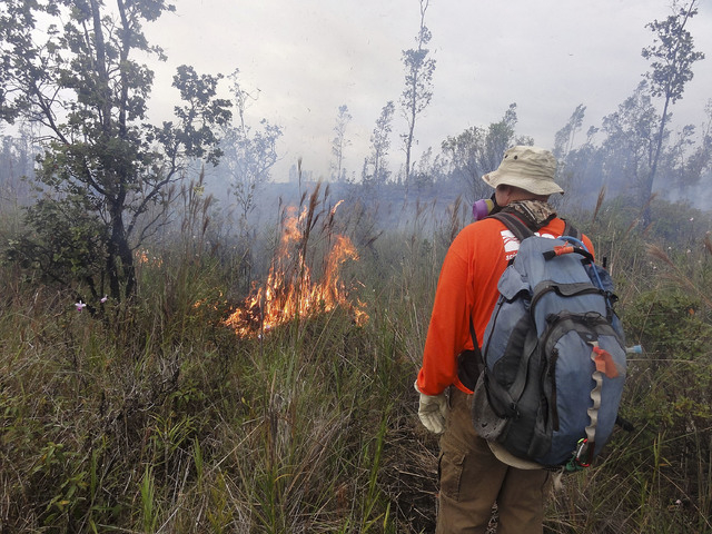 In this Nov. 13, 2014 photo provided by the U.S. Geological Survey, an HVO geologist encounters a small brush fire from lava flow from the Kilauea Volcano that began on June 27 along the margin of ...