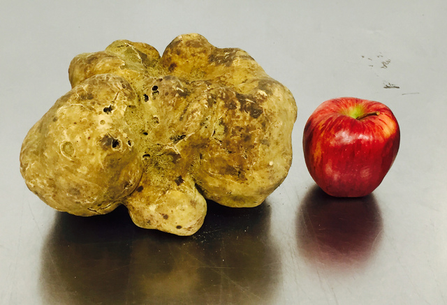 In this Dec. 3, 2014 file photo provided by Sotheby's Auction House, a record-setting 4.16-pound white truffle is seen at the U.S. Sabatino headquarters in West Haven, Connecticut. Sotheby's sold  ...