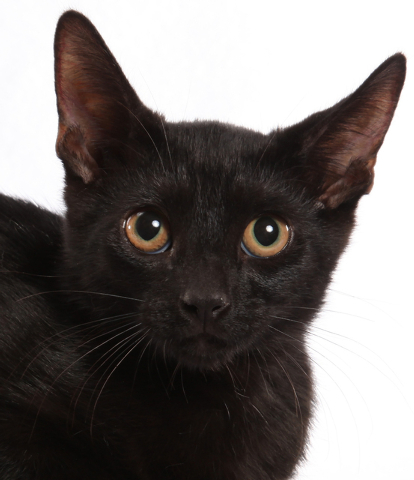 Abner, All Fur Love Abner is a quiet boy who loves toys and attention. Once he gets to know you, he will show you his inner kitten. Abner was born June 9 and is neutered, current on vaccines, FeLV ...