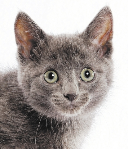 TORNADO Tornado is a big sweetheart who enjoys life to the fullest.  She plays, cuddles, and has a good time with everything around her.  Tornado was born 7/9/2014 and is spayed, current on vaccin ...
