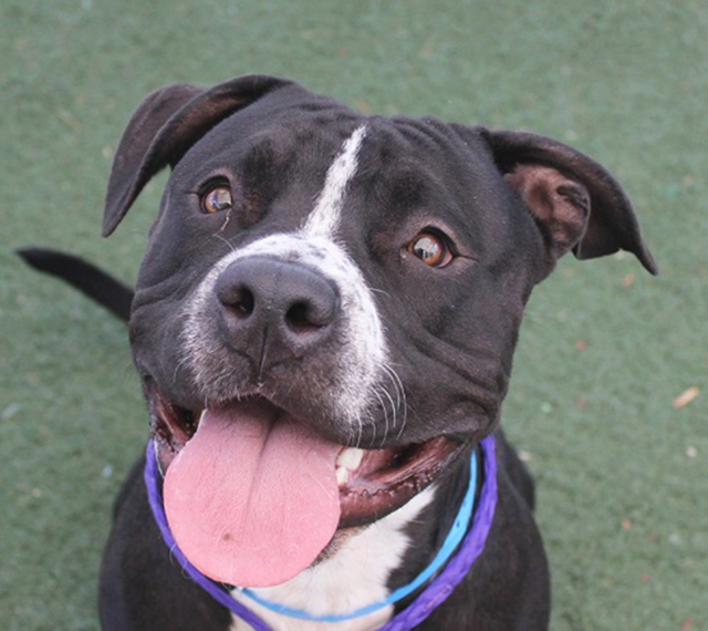 Ace, The Animal Foundation My name is Ace (ID No. A799677), and I'm a 2-year-old neutered male pit bull terrier. I'm a smart, handsome fella who already knows how to sit, shake, lie down and r ...